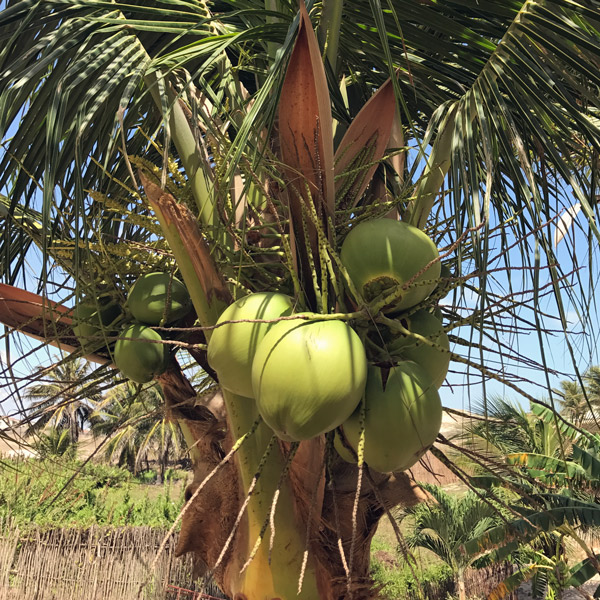 Fresh from our garden: What to do with a Whole Coconut